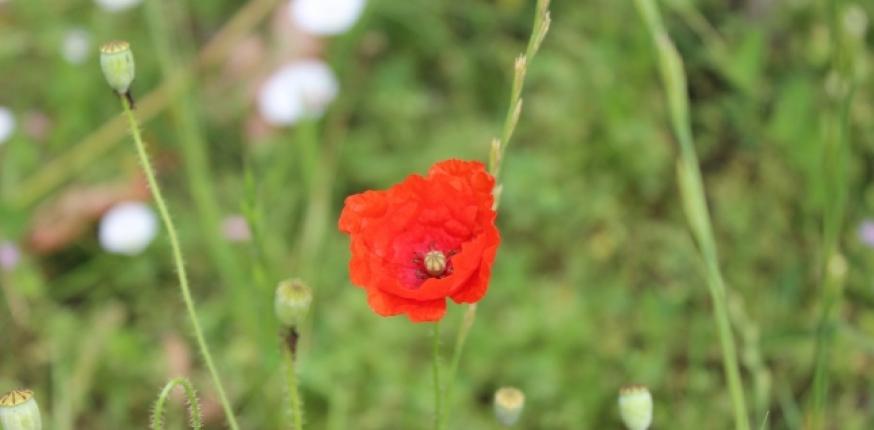 Flore adventice des vignes en Gironde : concilier diversité végétale et objectifs de production des viticulteurs