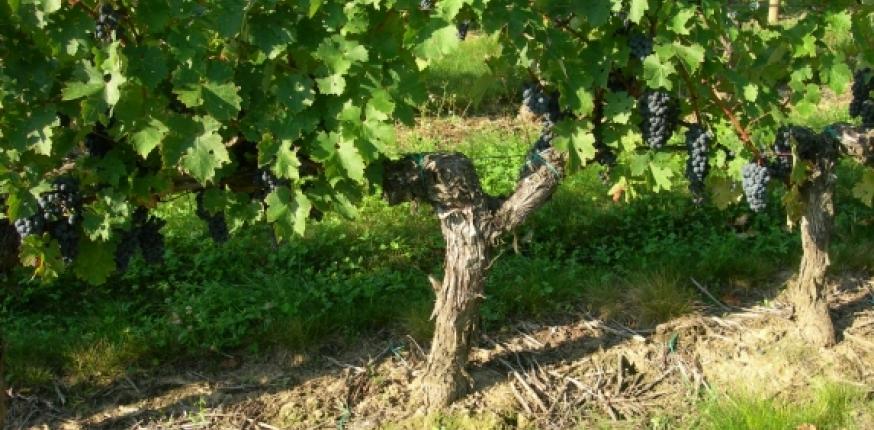 Dépérissement de la vigne