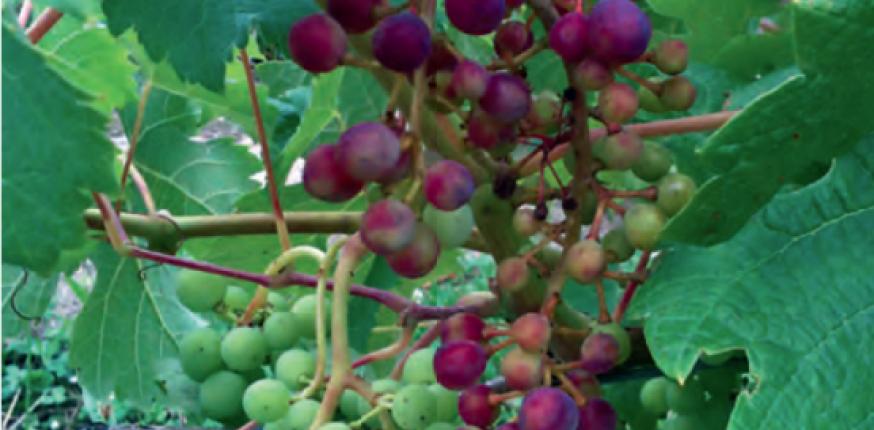 Mildiou (Plasmopara viticola)