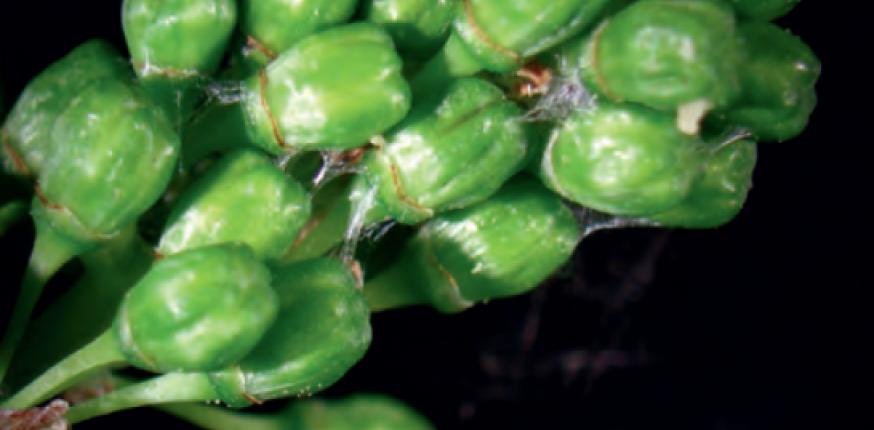 Les ravageurs : les tordeuses de la grappe