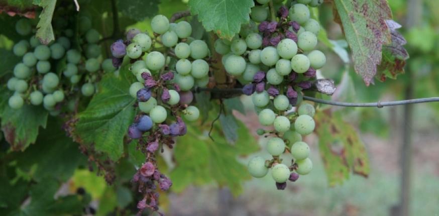 Mildiou de la vigne : les leçons de 2018