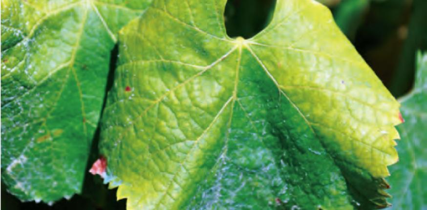 GDON des Bordeaux : Agir ensemble contre la flavescence dorée