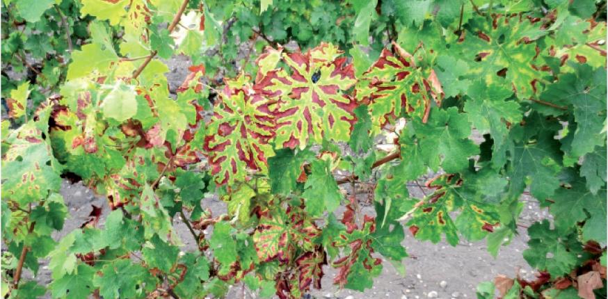 Epidémio-surveillance des maladies du bois dans le vignoble bordelais