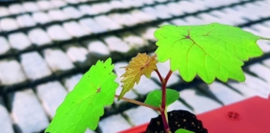 Programme Newvine : création d'un matériel végétal résistant