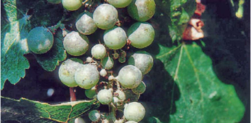 Comment se comporte l'oïdium en Aquitaine ?