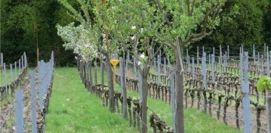 L'agroforesterie est-elle gage de biodiversité au vignoble ?