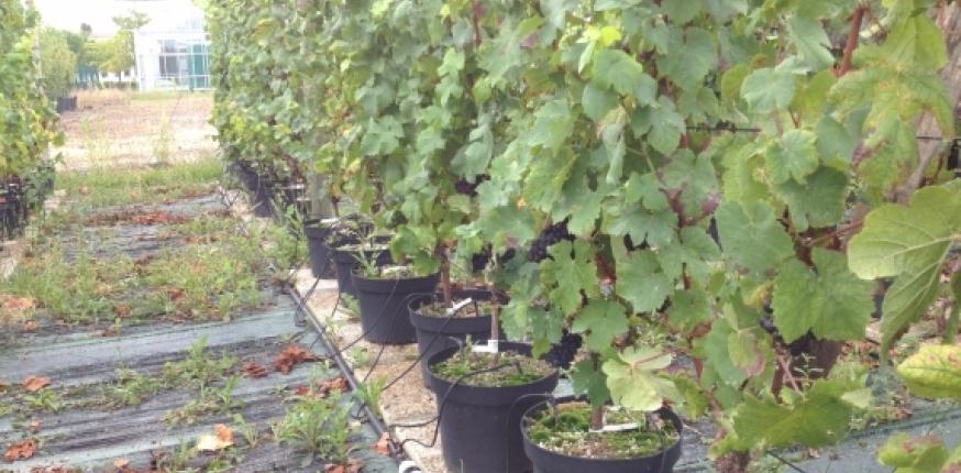 Statut azoté de la vigne : effet sur le potentiel aromatique de la baie de raisin et l'arôme du vin