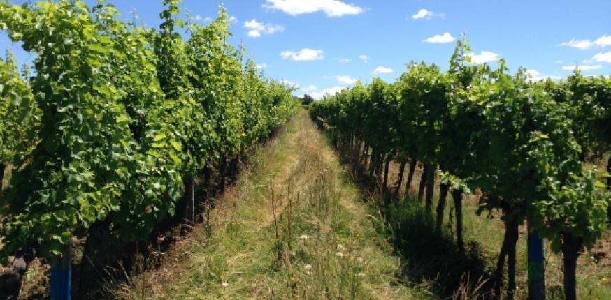 Programme Ecoviti : systèmes viticoles à faible niveau d'intrants phytosanitaires
