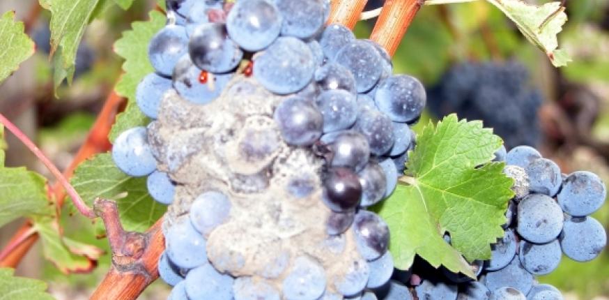 Note technique maladies de la vigne : stratégies vis-à-vis des résistances