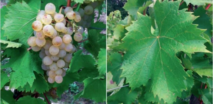 Production de vins liquoreux : Deux nouveaux clones de Muscadelle B