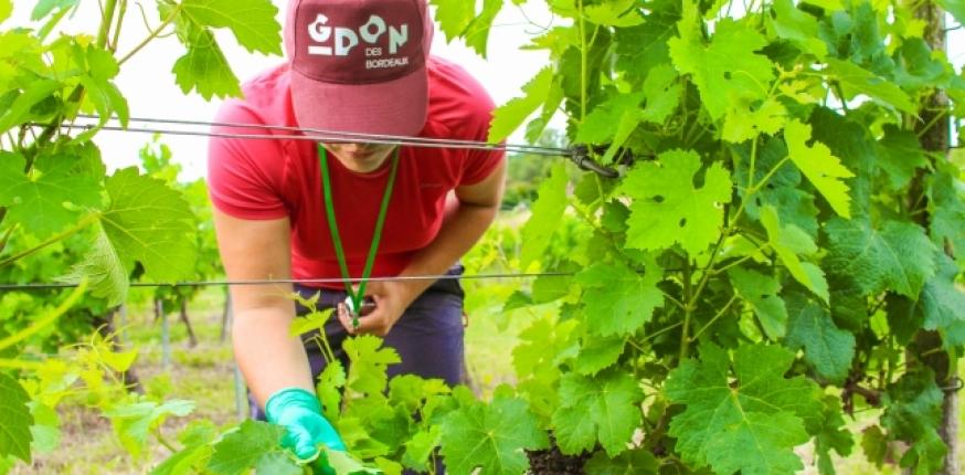 GDON des Bordeaux : l'année 2020 au rythme de la cicadelle